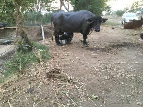 household buffalo