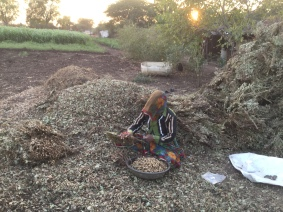 woman harvest peanuts