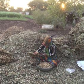 woman harvest peanuts